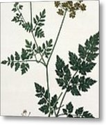 Aethusa Cynapium From Phytographie Metal Print