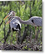 Affectionate Great Blue Heron Mates Metal Print