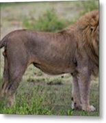 Africa Tanzania Male African Lion Metal Print