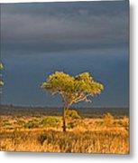 African Acacia Sunrise Metal Print