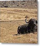 African Buffalo V2 Metal Print