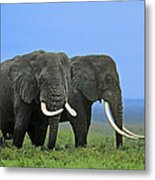 African Bull Elephants In Rain Endangered Species Tanzania Metal Print