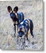 African Cape Hunting Dogs Metal Print