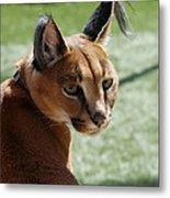 African Caracal Lynx  Metal Print