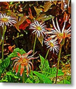African Daisies In Aswan Botanical Garden On Plantation Island In Aswan-egypt Metal Print