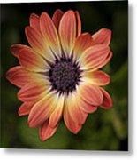 African Daisy - Bicolor Osteospermum Metal Print