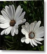 African Daisy Metal Print