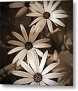 African Daisy Named African Sun Metal Print