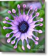 African Daisy - Square Format Metal Print