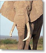 African Elephant Bull Amboseli Metal Print