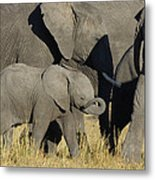 African Elephant Calf With The Herd Metal Print