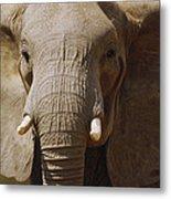 African Elephant Close Up Amboseli Metal Print