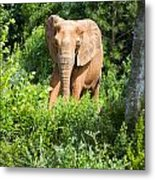 African Elephant Coming Through Trees Metal Print