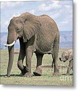 African Elephant Loxodonta Africana Metal Print