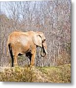 African Elephant On A Hill Metal Print