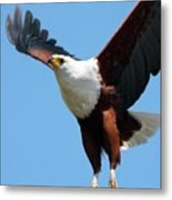 African Fish Eagle In Flight Metal Print