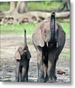 African Forest Elephant And Calf Metal Print