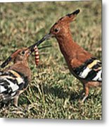 African Hoopoe Feeding Young Metal Print