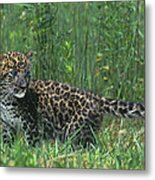 African Leopard Cub In Tall Grass Endangered Species Metal Print