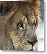 African Lion #8 Metal Print