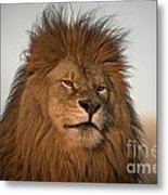 African Lion-animals-image Metal Print