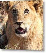 African Lion Cub Resting Metal Print