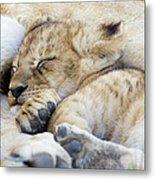 African Lion Cub Sleeping Metal Print