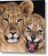 African Lion Cubs One Aint Happy Wldlife Rescue Metal Print