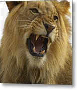 African Lion Male Growling Metal Print by San Diego Zoo