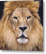 African Lion Male Portrait Metal Print