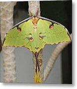 African Moon Moth Metal Print