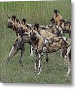 African Painted Hunting Dogs Metal Print