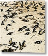 African Penguins Metal Print by Oliver Johnston