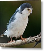 African Pygmy Falcon Metal Print