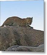 African Safari Leopard 1 Metal Print