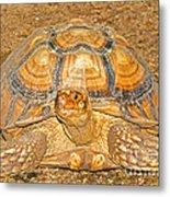 African Spur Thigh Tortoise Metal Print