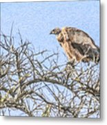 African White-backed Vulture Metal Print