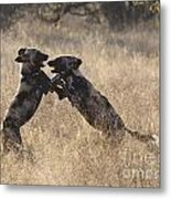 African Wild Dogs Playing Lycaon Pictus Metal Print