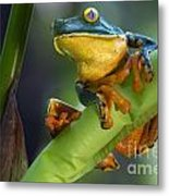 Agalychnis Calcarifer 4 Metal Print