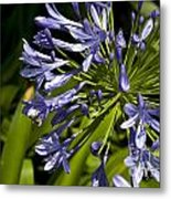 Agapanthus Flower And Bee Metal Print