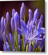 Agapanthus - Lily Of The Nile - African Lily Metal Print