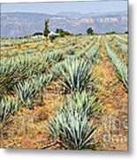 Agave Cactus Field In Mexico Metal Print