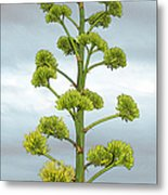 Agave Flower Spike Metal Print
