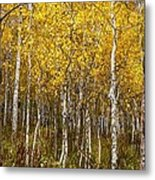 Age Pitted Aspens Metal Print