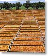 Agriculture - Blenheim Apricots Metal Print