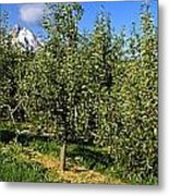 Agriculture - Bosc Pear Orchard Metal Print