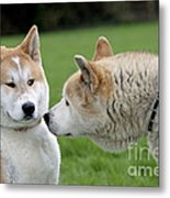 Akita Inu Dogs, Old And Young Metal Print