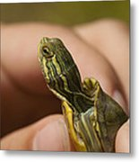 Alabama Red-bellied Turtle -  Pseudemys Alabamensis Metal Print