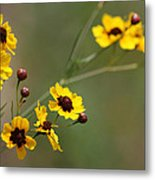 Alabama Wildflowers Coreopsis Tinctoria Tickseed Metal Print