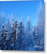 Alaska Sunrise Illuminating Spruce Trees Among Birches Metal Print